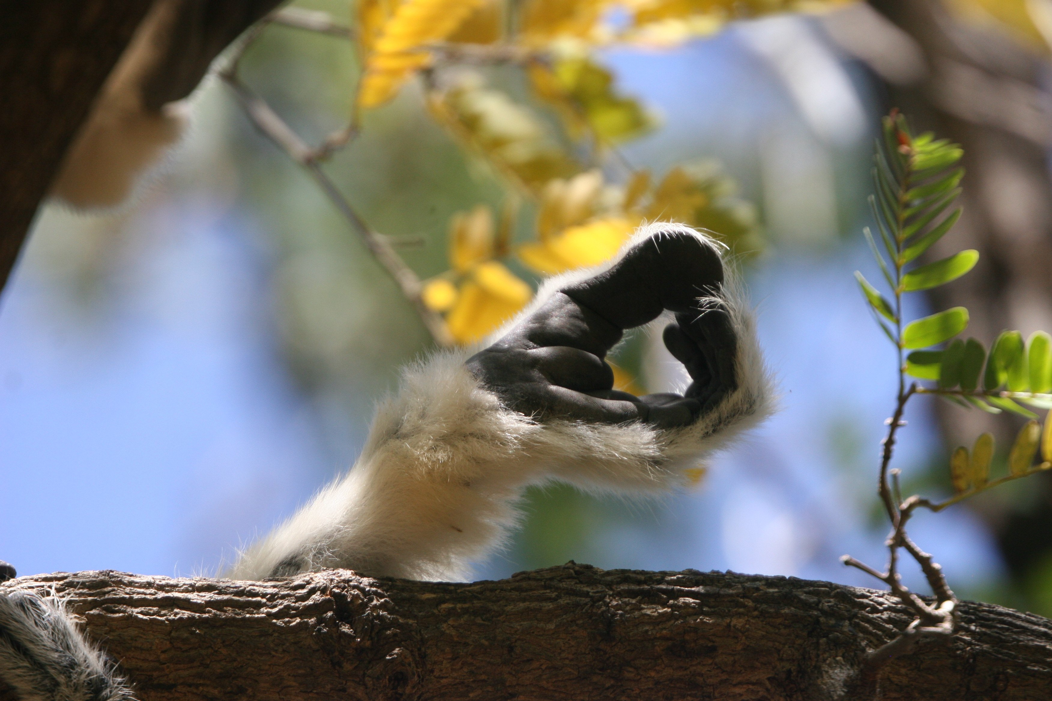 crowned sifaka_credit Tony King (11)