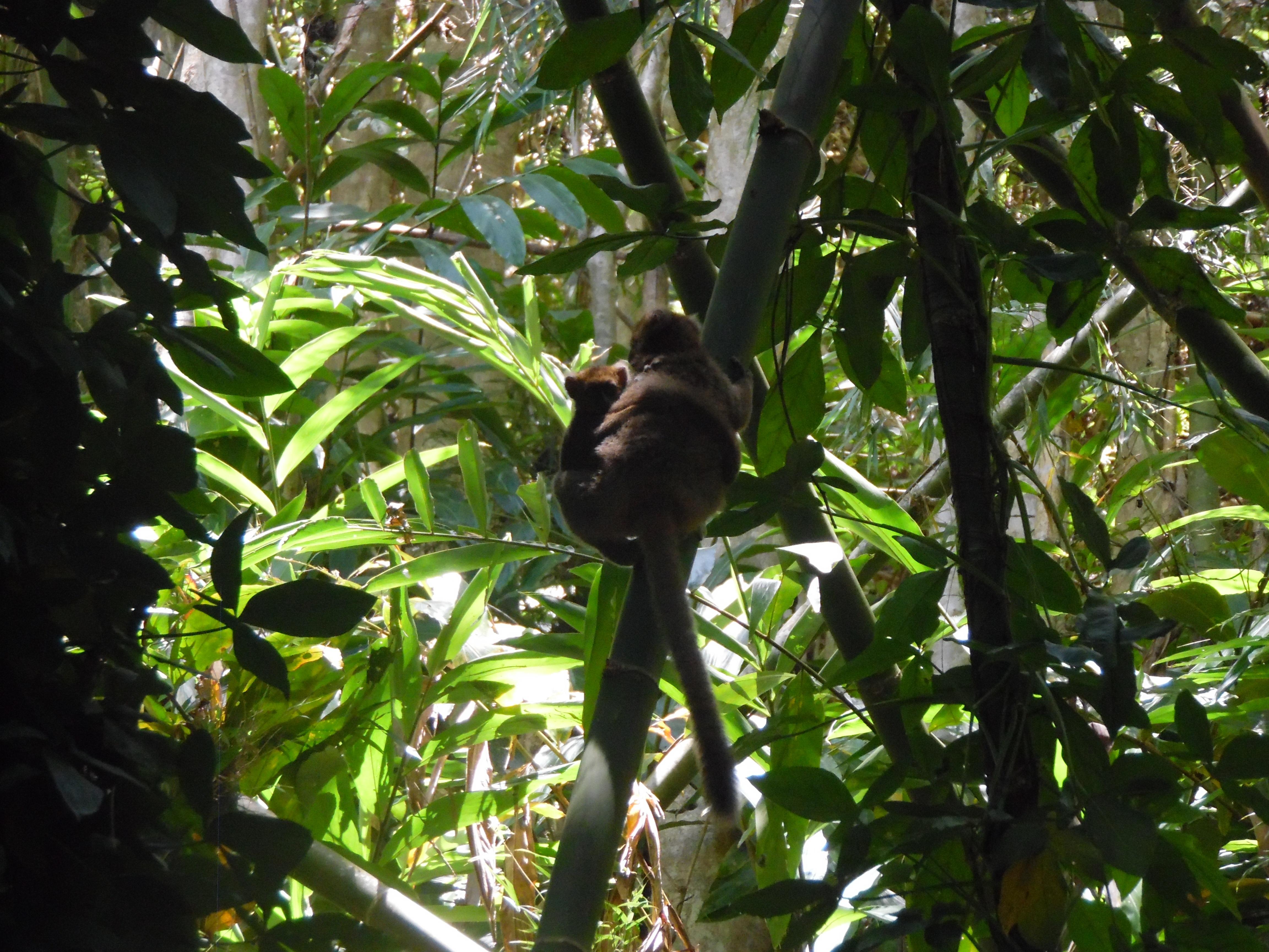 greater bamboo lemur at Ambalafary by Mija Mihaminekena (2).jpg