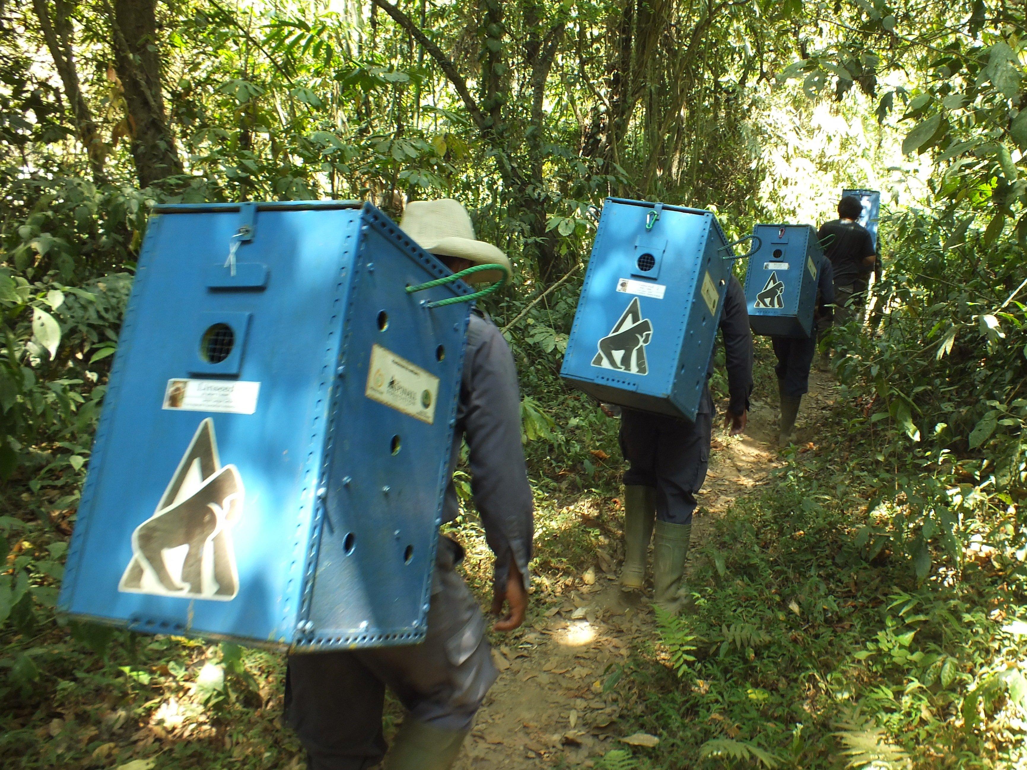 Transporting Javan ebony langurs for release (c) Iwan Kurniawan _ KLHK _ Aspinall Foundation