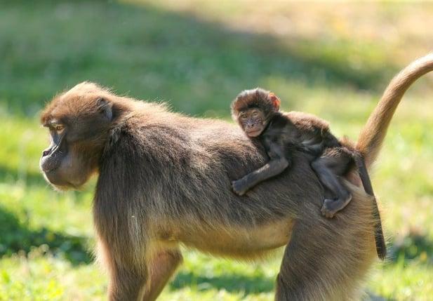 baby gelada born at Howletts Wild Animal Park