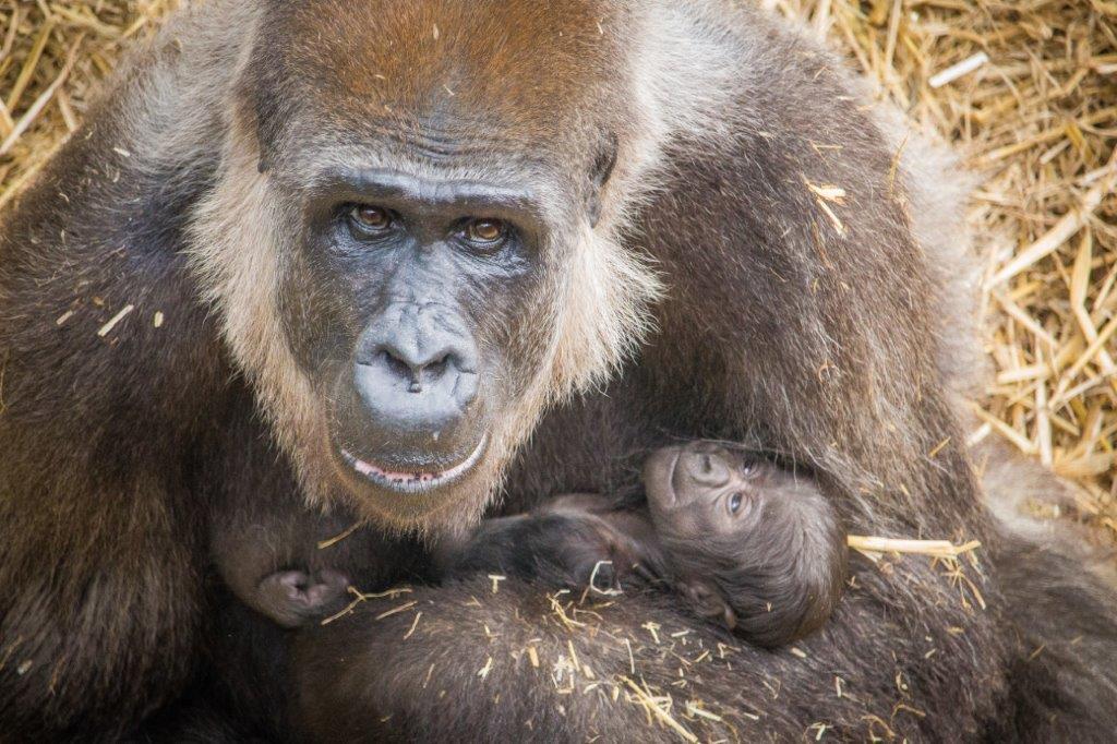baby gorilla at Port Lympne Hotel & Reserve