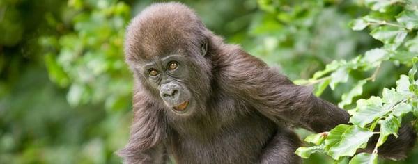 gorilla-baby-howletts-1