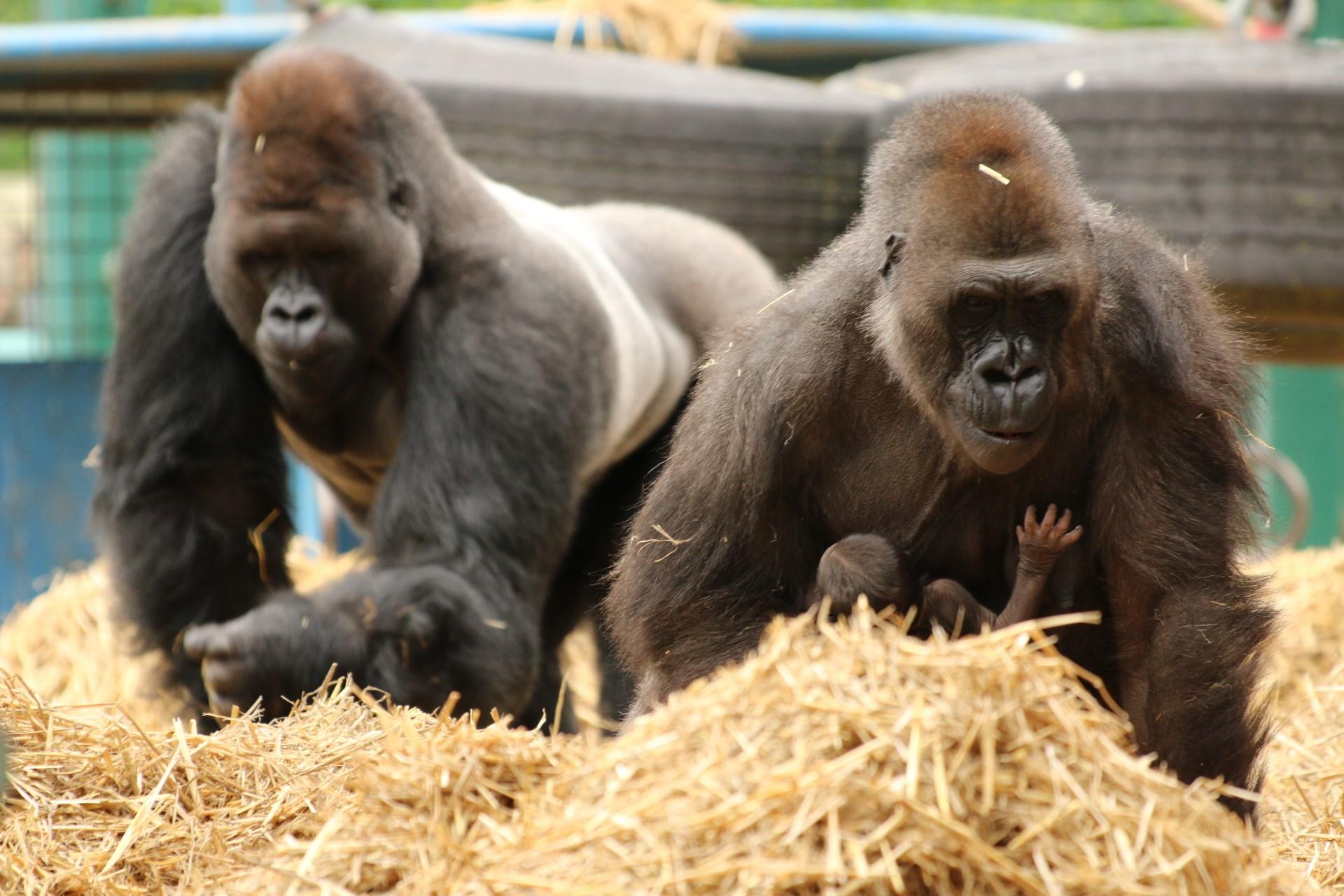 Ebeki Dihi and baby at Howletts Wild Animal Park c Howletts Wild Animal Park
